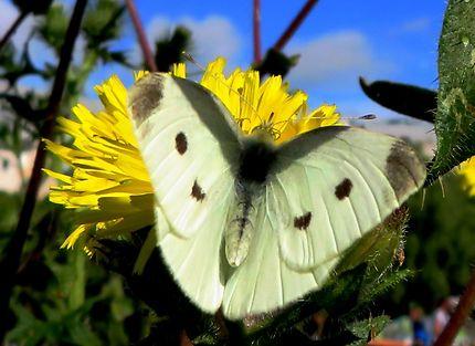 Les papillons de la petite ceinture