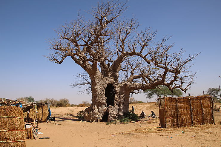 Baobab symbole du Sénégal