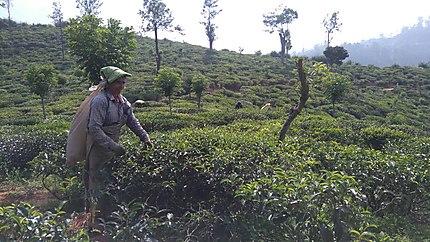 Ramasseuse de thé