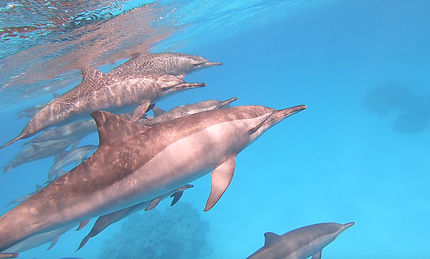 Rencontre des dauphins de Sataya