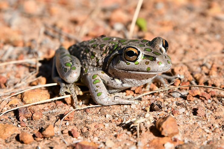Motorbike Frog, Australie