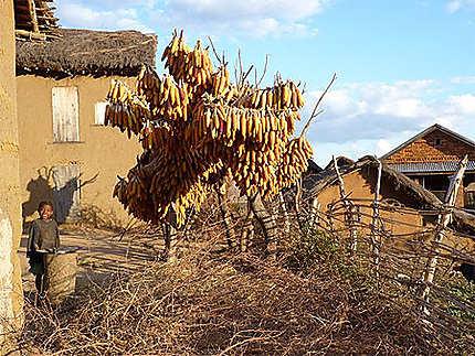 Arbre à maïs