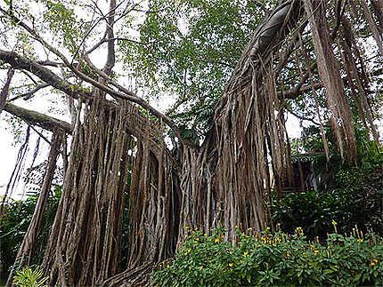 Arbre A Lianes Arbres Jardin Botanique De Deshaies Deshaies