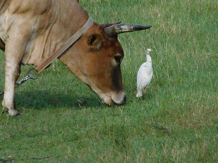 Vache et oiseau d'Anse-Bertrand