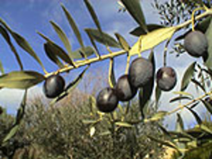 La fête de l'Olive piquée à Nyons