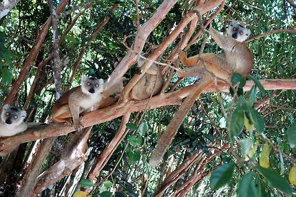 La bande de copains,lémuriens au Palmarium