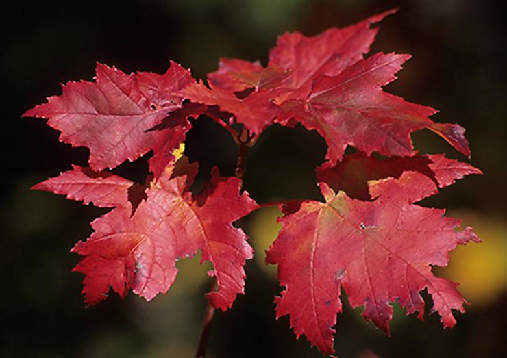 Mais pourquoi les feuilles deviennent-elles rouges?