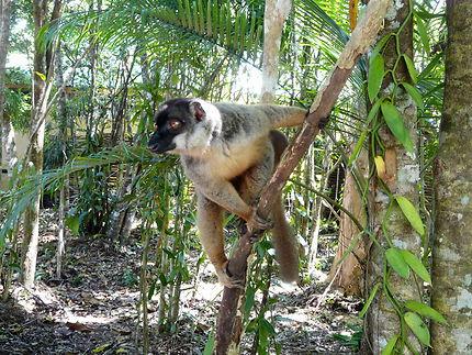 Lémurien Sifaka au Palmarium, Madagascar
