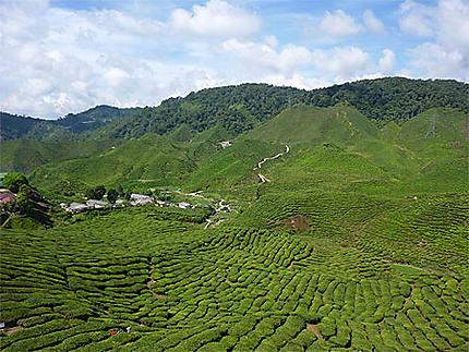 Culture du thé dans les Cameron Highland