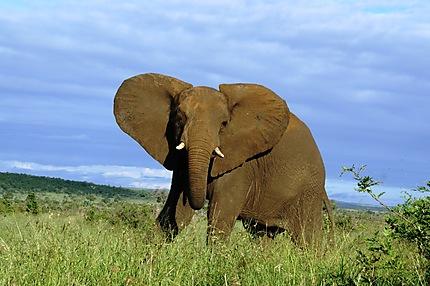 L'éléphant qui ferme la marche