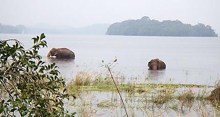 Éléphants sauvages prenant leur bain