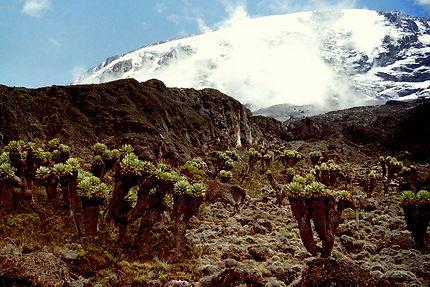 Les séneçons géants du Kilimandjaro