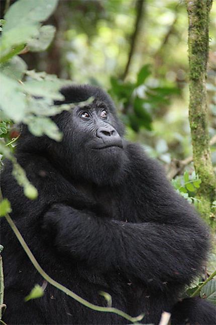 Parc national de Kahuzi-Biega: Gorille