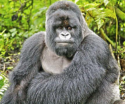 Les protégés de Diane Fossey