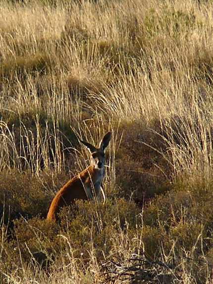Kangourou dans l'Outback