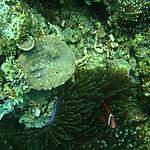Protégé par l'anemone