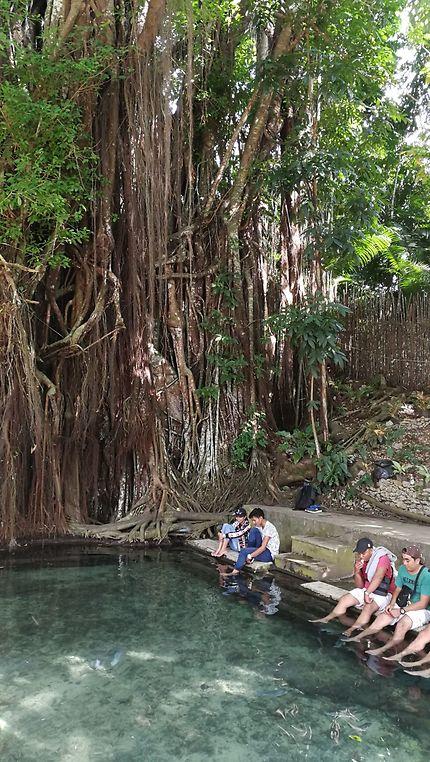 Century old balete tree
