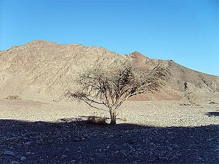 Acacia du désert du Neguev