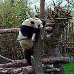 Panda Hao Hao