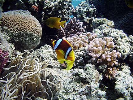 Poisson clown en mer Rouge
