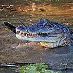 Les crocos de la yellow river