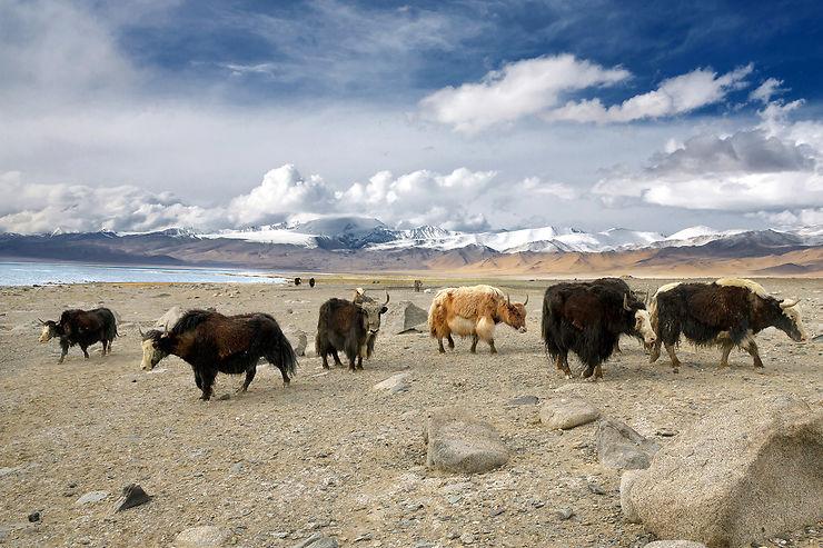 Troupeau de yaks au lac Karakul, Tadjikistan