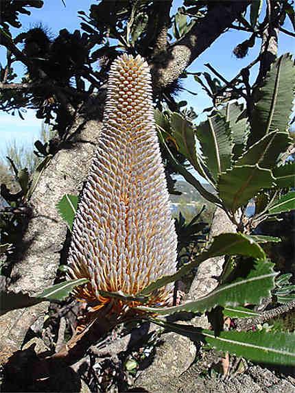 Flore australe