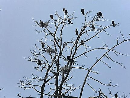 Colonie de cormorans