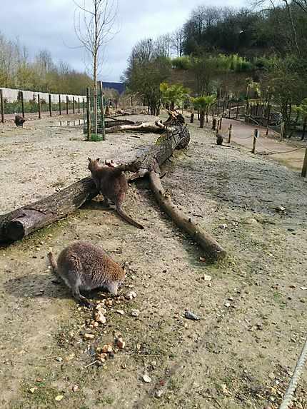Kangourous en liberté à Biotropica