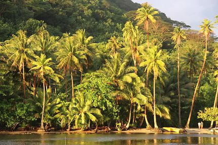 Palmiers dorés à Huahine