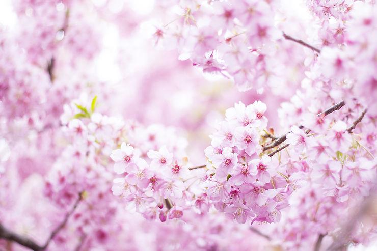 Floraison des cerisiers et hanami au Japon