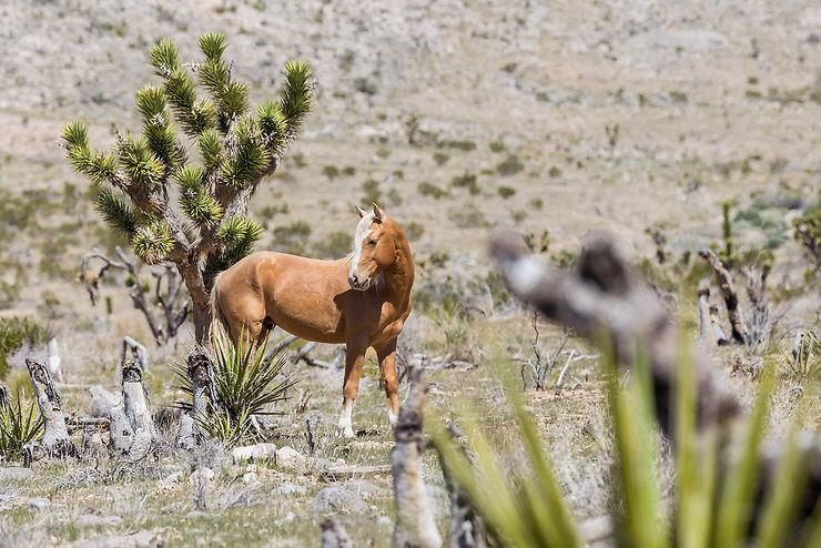 Désert de Mojave : sur les traces des chevaux sauvages