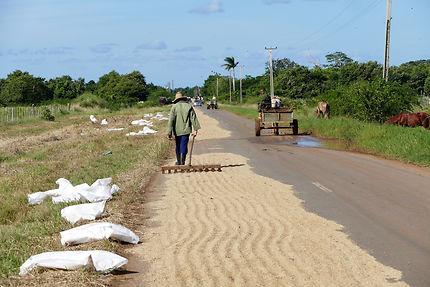 Le riz sèche sur les routes de Cuba