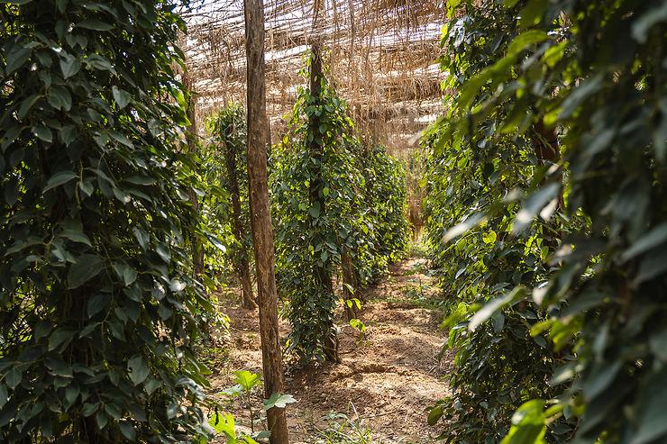Kampot, l'un des meilleurs poivres au monde
