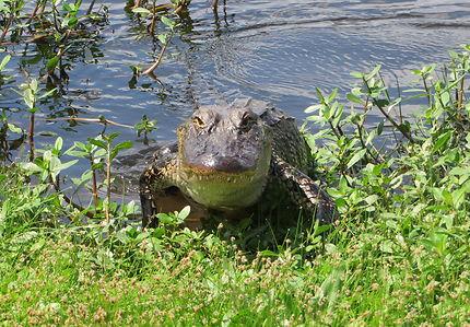 Alligator sur la Creole Nature Trail