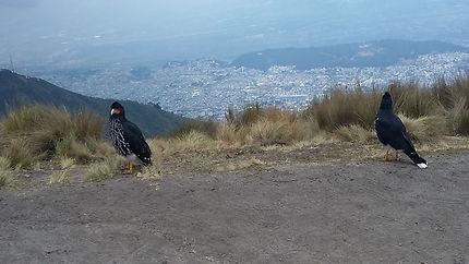 Caracara à Quito