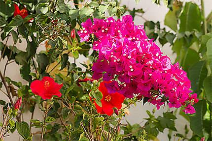 Lisbonne - Fleurs d'hibiscus et de bougainvillier