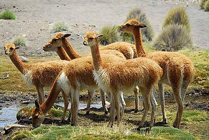 Groupe de vigognes