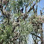 Nidification des cormorans