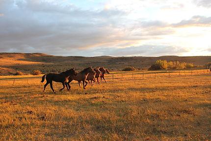 Les chevaux de la Pampa