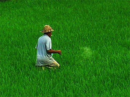 Homme dans les rizières