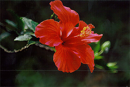 Fleur D Ibiscus Fleurs Diego Suarez Antsiranana Et Sa Region