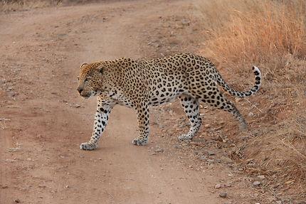 Rencontre avec un léopard au parc Kruger