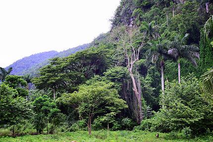 Végétation luxuriante dans la vallée de Vinales