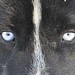 Husky aux yeux bleus
