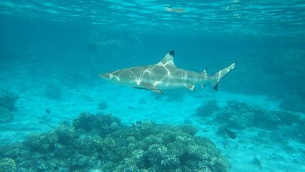 Requins pointe noire