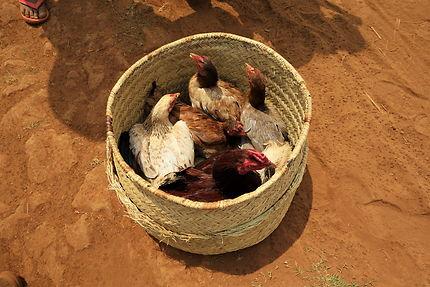 Déménagement des poules
