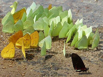 Papillons sur les bords du fleuve Orenoque
