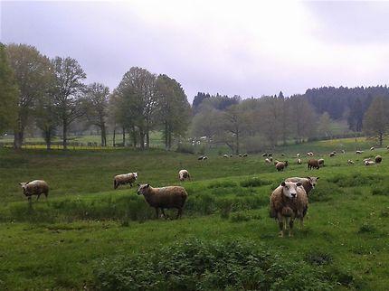 Moutons à Saint-Merd-la-Breuille, Creuse