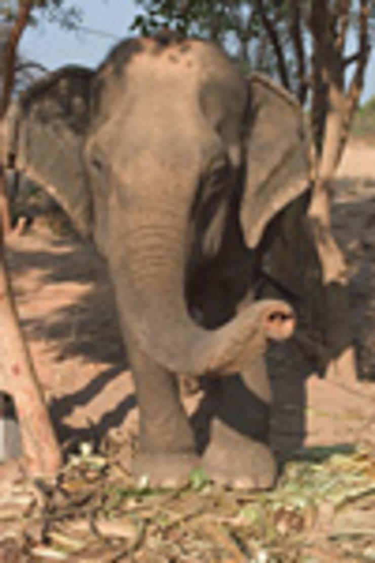 Festival de Surin : les éléphants en font des tonnes !